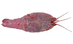 Deepsea lobster