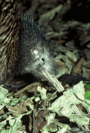 NI brown kiwi