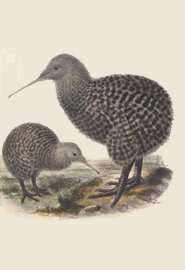 Little spotted kiwi, John Gerrard Kuelemans