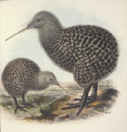 Little spotted kiwi