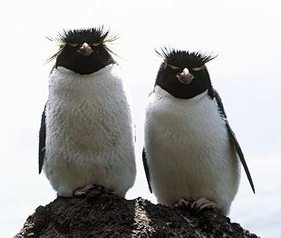 Eastern rockhopper penguin
